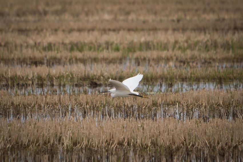 A nuestro paso, vuela una grulla común en los arrozales de El Palmar.