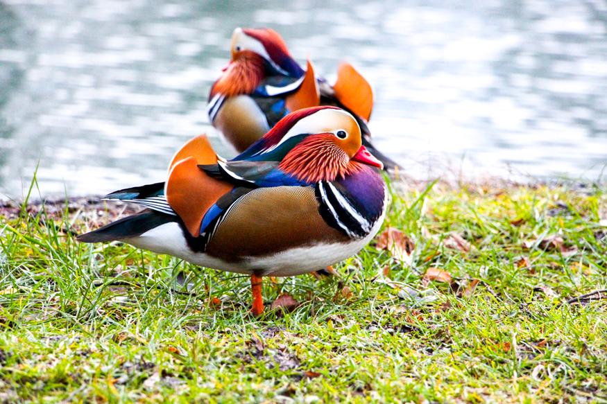 Patos mandarín en los jardines del palacio de Hellbrunn.