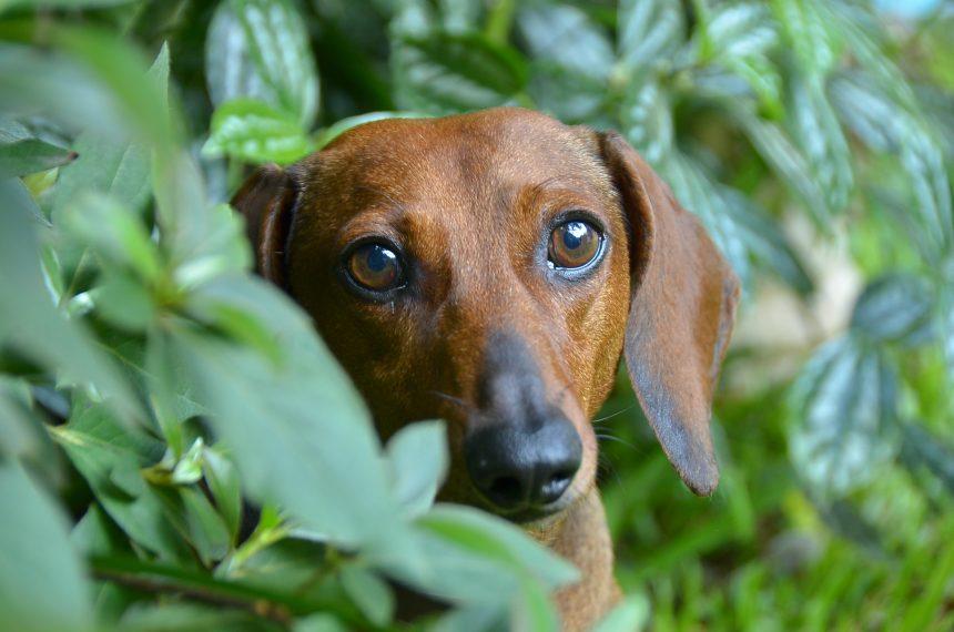 PCCh: ¡los perros no padecen ni transmiten el COVID-19!